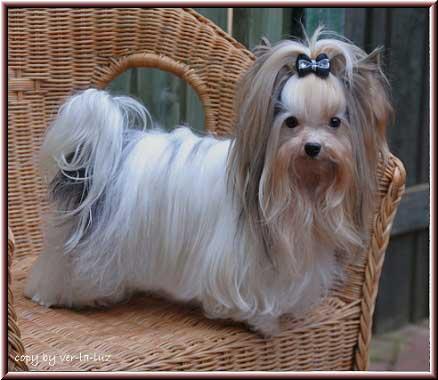 1Jojo Maerz2012 5 | Hundezucht von Martina Dase ver-la-luz - Golddust und Biewer Yorkshire Terrier a la Pom Pon