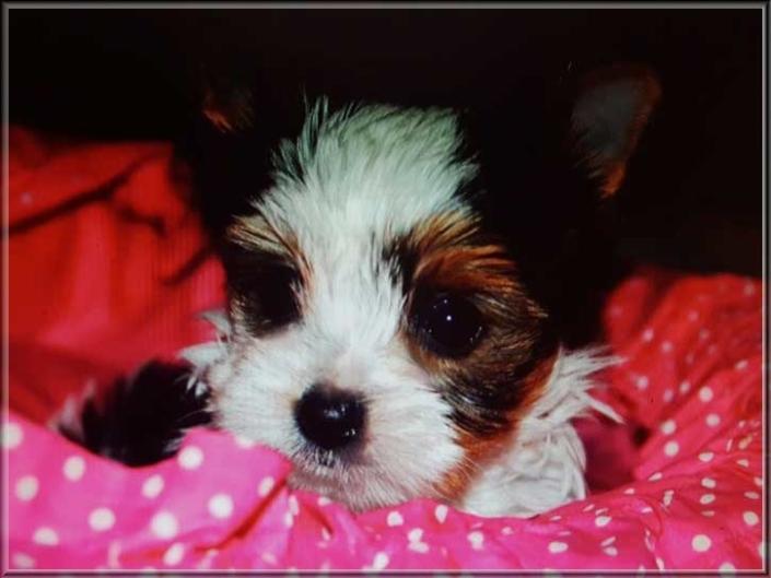 20171114 080554 | Hundezucht von Martina Dase ver-la-luz - Golddust und Biewer Yorkshire Terrier a la Pom Pon