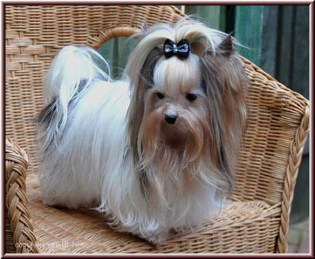 2Jojo Maerz2012 4 | Hundezucht von Martina Dase ver-la-luz - Golddust und Biewer Yorkshire Terrier a la Pom Pon