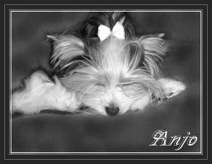 Anjo 8 Monate | Hundezucht von Martina Dase ver-la-luz - Golddust und Biewer Yorkshire Terrier a la Pom Pon