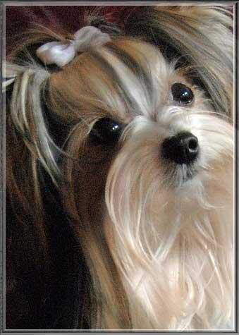 Anjo Gesicht HP 4 | Hundezucht von Martina Dase ver-la-luz - Golddust und Biewer Yorkshire Terrier a la Pom Pon