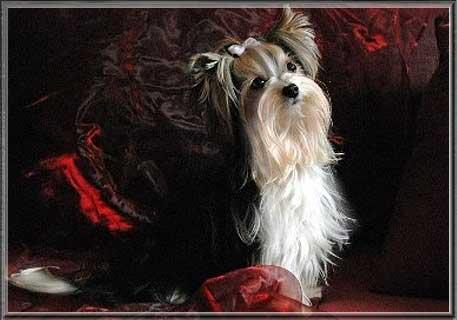 Anjo HP 2 | Hundezucht von Martina Dase ver-la-luz - Golddust und Biewer Yorkshire Terrier a la Pom Pon