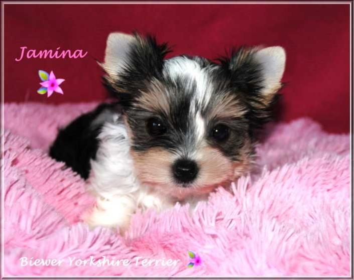 Annie J Biewer Yorkshire Terrier Maedchen Jamina von ver la luz 10 wochen 2 | Hundezucht von Martina Dase ver-la-luz - Golddust und Biewer Yorkshire Terrier a la Pom Pon