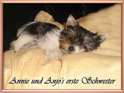 Annie und Anjos erste Schwester | Hundezucht von Martina Dase ver-la-luz - Golddust und Biewer Yorkshire Terrier a la Pom Pon