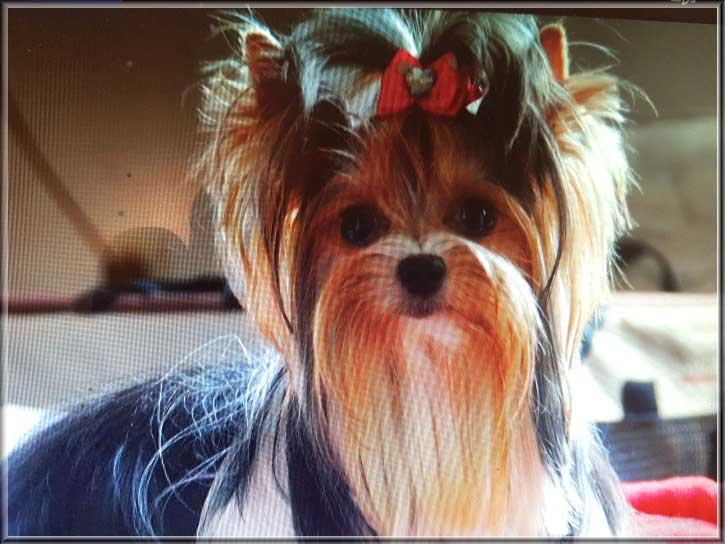 Babe von ver la luz 15 mon 10 | Hundezucht von Martina Dase ver-la-luz - Golddust und Biewer Yorkshire Terrier a la Pom Pon