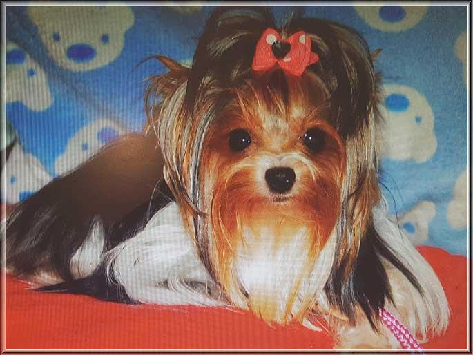 Babe von ver la luz 15 mon 9 | Hundezucht von Martina Dase ver-la-luz - Golddust und Biewer Yorkshire Terrier a la Pom Pon