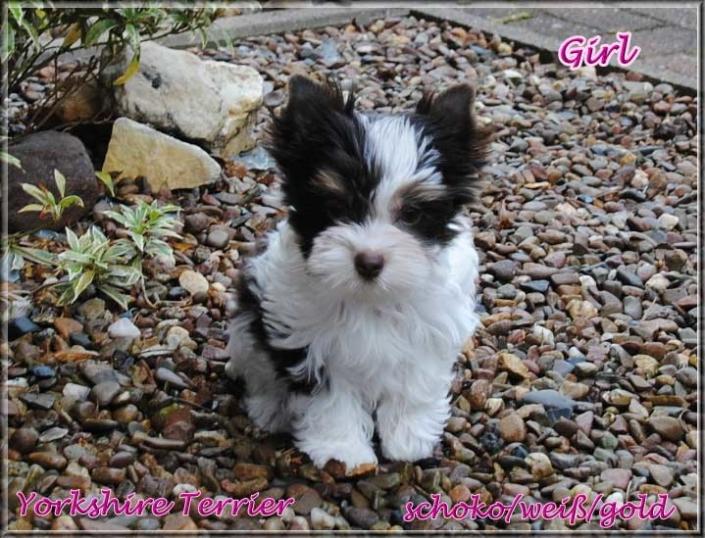 Bambina A Biro Yorkshire Terrier Maedchen von ver la luz 10 wochen 1   Hundezucht von Martina Dase ver-la-luz - Golddust und Biewer Yorkshire Terrier a la Pom Pon