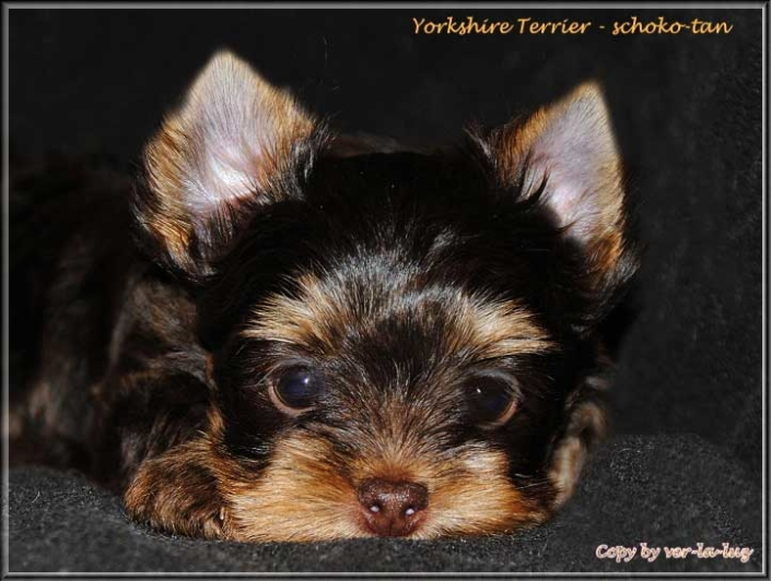 Bambina A schoko Yorkshire Terrier Ruede von ver la luz 7 wochen 4 | Hundezucht von Martina Dase ver-la-luz - Golddust und Biewer Yorkshire Terrier a la Pom Pon
