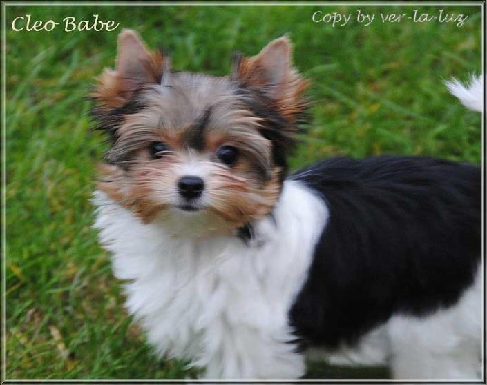 Bambina C Biewer York Ter Maedchen Cleo Babe von ver la luz 16 wochen 1 1 | Hundezucht von Martina Dase ver-la-luz - Golddust und Biewer Yorkshire Terrier a la Pom Pon