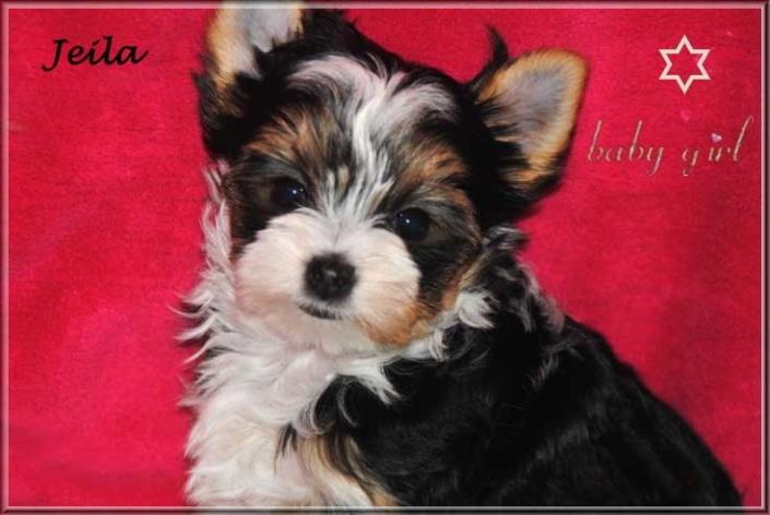 Bambina J Biewer Yorkshire Terrier Maedchen von ver la luz 8 wochen 1   Hundezucht von Martina Dase ver-la-luz - Golddust und Biewer Yorkshire Terrier a la Pom Pon