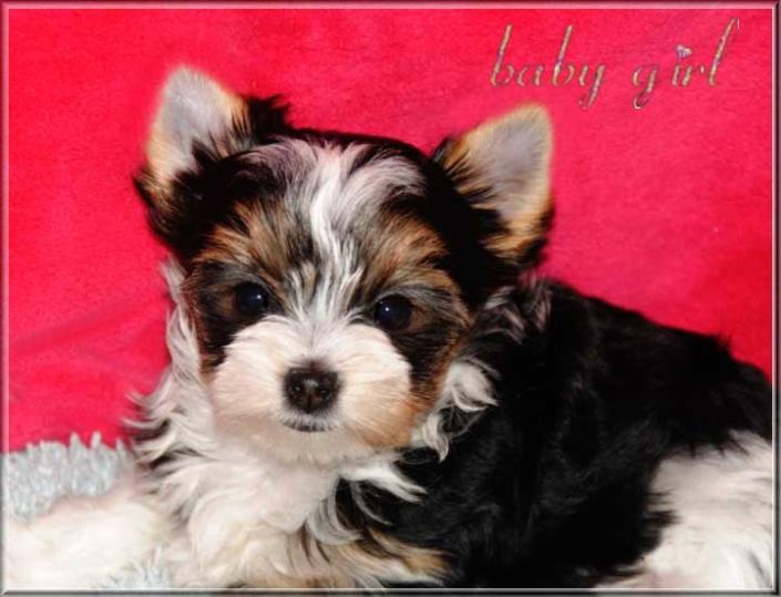 Bambina J Biewer Yorkshire Terrier Maedchen von ver la luz 8 wochen 3 | Hundezucht von Martina Dase ver-la-luz - Golddust und Biewer Yorkshire Terrier a la Pom Pon