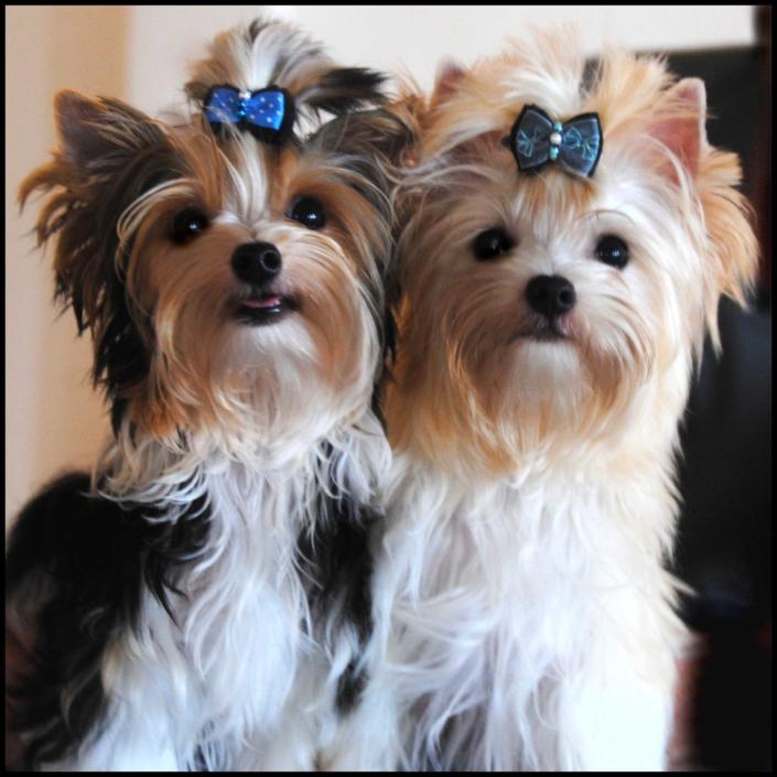 Biewer Yorkshire Terrier Golddust Yorkshire Terrier Tmilo Milo von ver la luz 6 Monate 2 1 | Hundezucht von Martina Dase ver-la-luz - Golddust und Biewer Yorkshire Terrier a la Pom Pon