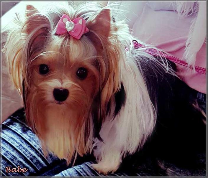 Biewer Yorkshire Terrier Huendin Babe von ver la luz 15 Monate 2 | Hundezucht von Martina Dase ver-la-luz - Golddust und Biewer Yorkshire Terrier a la Pom Pon