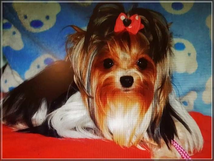 Biewer Yorkshire Terrier Huendin Cleo Babe von ver la luz 1   Hundezucht von Martina Dase ver-la-luz - Golddust und Biewer Yorkshire Terrier a la Pom Pon