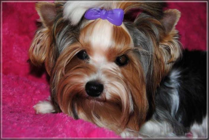Biewer Yorkshire Terrier Huendin Lina von ver la luz 8 Monate 2 | Hundezucht von Martina Dase ver-la-luz - Golddust und Biewer Yorkshire Terrier a la Pom Pon