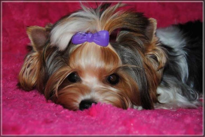 Biewer Yorkshire Terrier Huendin Lina von ver la luz 8 Monate 3 | Hundezucht von Martina Dase ver-la-luz - Golddust und Biewer Yorkshire Terrier a la Pom Pon