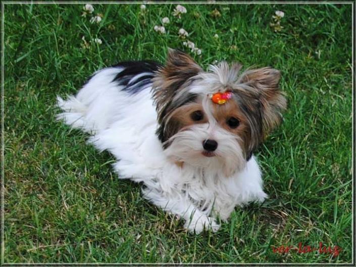 Biewer Yorkshire Terrier Lieke von ver la luz 6 monate 2 | Hundezucht von Martina Dase ver-la-luz - Golddust und Biewer Yorkshire Terrier a la Pom Pon