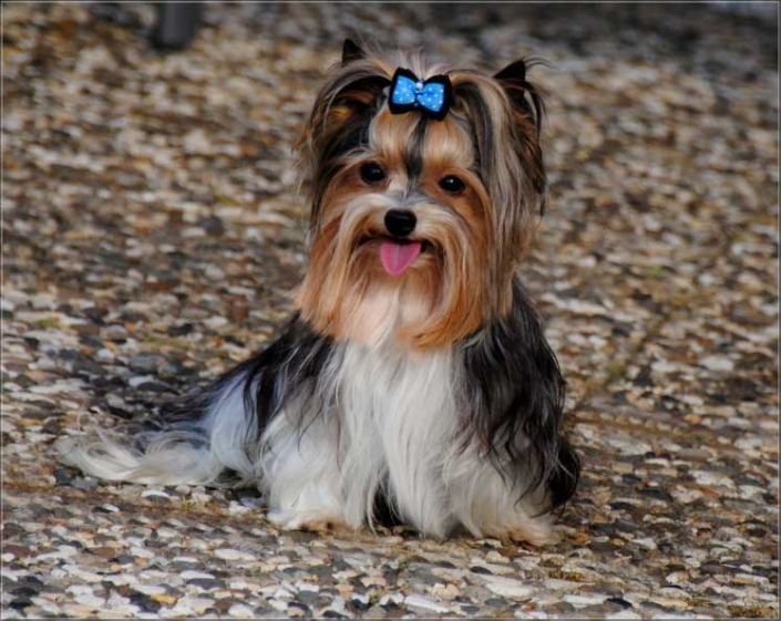 Biewer Yorkshire Terrier Lio von ver la luz 5 1   Hundezucht von Martina Dase ver-la-luz - Golddust und Biewer Yorkshire Terrier a la Pom Pon