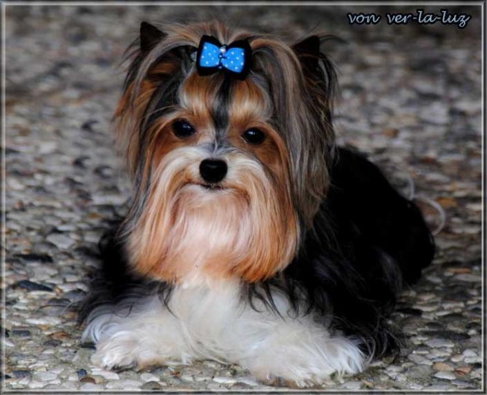 Biewer Yorkshire Terrier Lio von ver la luz 5   Hundezucht von Martina Dase ver-la-luz - Golddust und Biewer Yorkshire Terrier a la Pom Pon