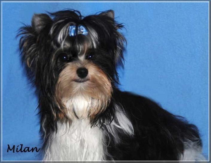 Biewer Yorkshire Terrier Quin Milan von ver la luz 7 Monate 3 | Hundezucht von Martina Dase ver-la-luz - Golddust und Biewer Yorkshire Terrier a la Pom Pon
