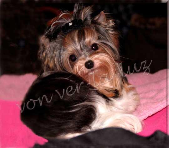 Biewer Yorkshire Terrier Ruede Lio von ver la uz | Hundezucht von Martina Dase ver-la-luz - Golddust und Biewer Yorkshire Terrier a la Pom Pon