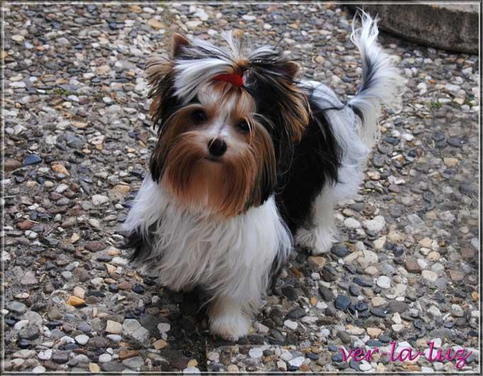 Biewer Yorkshire Terrier tamila von ver la luz 8 Monate 5 | Hundezucht von Martina Dase ver-la-luz - Golddust und Biewer Yorkshire Terrier a la Pom Pon