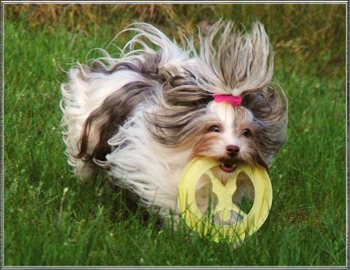 Biro Yorkshire Terrier Huendin Calamity bei ver la luz 25 Jahre 8 | Hundezucht von Martina Dase ver-la-luz - Golddust und Biewer Yorkshire Terrier a la Pom Pon