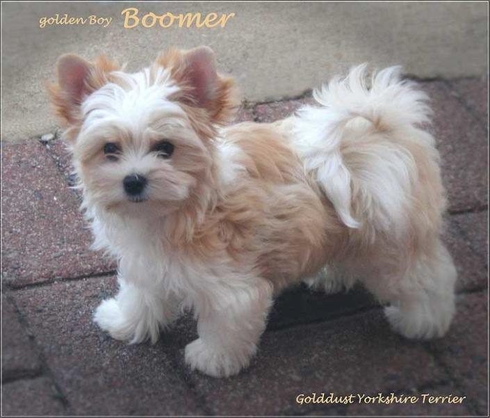 Boomer | Hundezucht von Martina Dase ver-la-luz - Golddust und Biewer Yorkshire Terrier a la Pom Pon