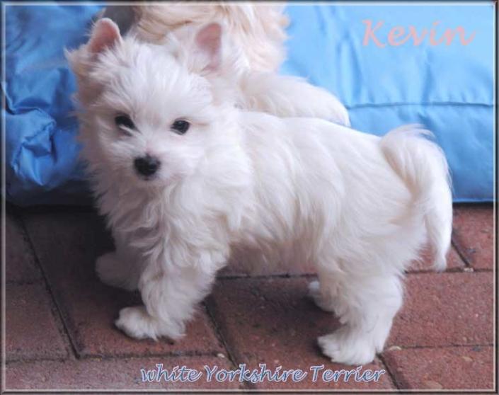 Calamity K white Yorkshire Terrier Ruede kevin 8 wochen 5 1   Hundezucht von Martina Dase ver-la-luz - Golddust und Biewer Yorkshire Terrier a la Pom Pon