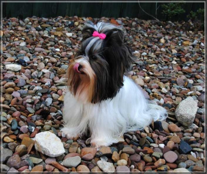 DSC 0405 3 | Hundezucht von Martina Dase ver-la-luz - Golddust und Biewer Yorkshire Terrier a la Pom Pon