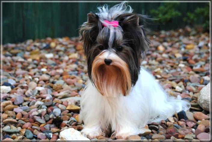 DSC 04092 2 | Hundezucht von Martina Dase ver-la-luz - Golddust und Biewer Yorkshire Terrier a la Pom Pon