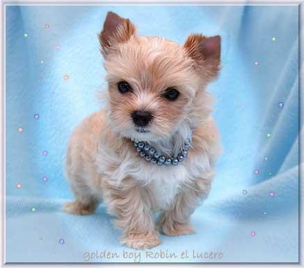 DSC Mina R golden boy Robin el lucero klein 7 wochen 1 1   Hundezucht von Martina Dase ver-la-luz - Golddust und Biewer Yorkshire Terrier a la Pom Pon