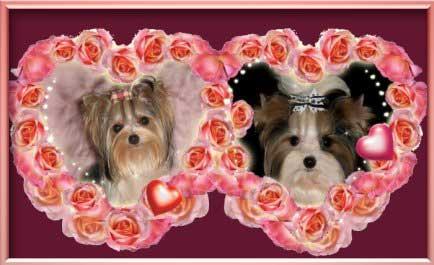 Dahra Mae Jojo | Hundezucht von Martina Dase ver-la-luz - Golddust und Biewer Yorkshire Terrier a la Pom Pon