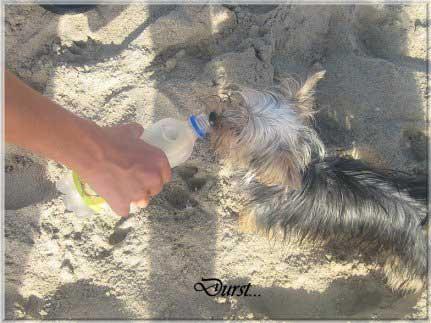 Durst | Hundezucht von Martina Dase ver-la-luz - Golddust und Biewer Yorkshire Terrier a la Pom Pon