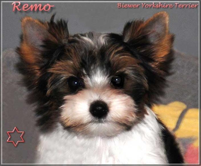 Emelie R Biewer Yorkshire Terrier Ruede Remo von ver la luz 12 Wochen 3 | Hundezucht von Martina Dase ver-la-luz - Golddust und Biewer Yorkshire Terrier a la Pom Pon