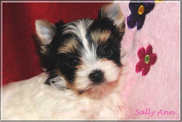 Emelie S Biewer Yorkshire Terrier Huendin Sally Ann von ver la luz 6 Wochen 1   Hundezucht von Martina Dase ver-la-luz - Golddust und Biewer Yorkshire Terrier a la Pom Pon