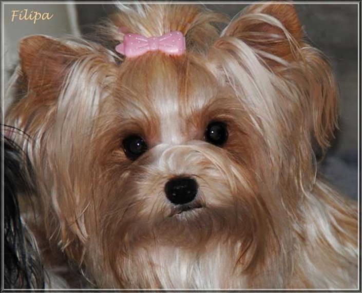 Golddust Yorkshire Terrier Huendin Filipa von ver la luz 15 Monate 2 | Hundezucht von Martina Dase ver-la-luz - Golddust und Biewer Yorkshire Terrier a la Pom Pon