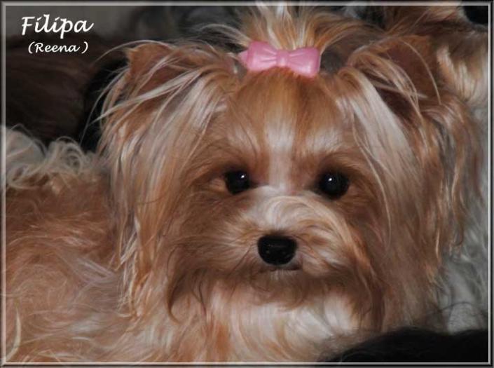 Golddust Yorkshire Terrier Huendin Filipa von ver la luz 15 Monate 4   Hundezucht von Martina Dase ver-la-luz - Golddust und Biewer Yorkshire Terrier a la Pom Pon