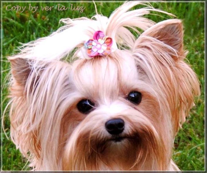 Golddust Yorkshire Terrier Huendin Reena Filippa von ver la luz 4 Jahre 1   Hundezucht von Martina Dase ver-la-luz - Golddust und Biewer Yorkshire Terrier a la Pom Pon