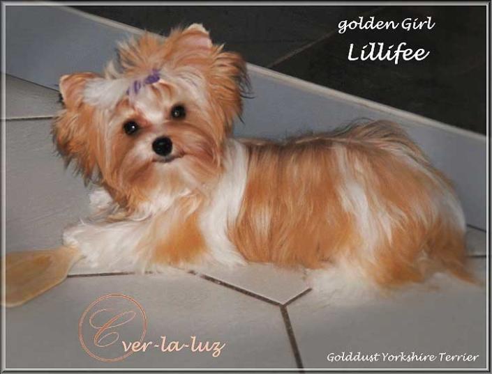 Golddust Yorkshire Terrier Maedchen Lillifee 65 Monate von ver la luz   Hundezucht von Martina Dase ver-la-luz - Golddust und Biewer Yorkshire Terrier a la Pom Pon