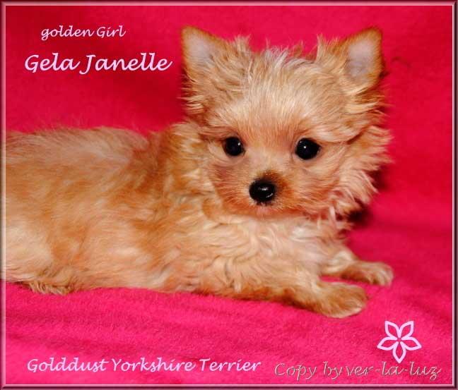 Ivimae G Golddust Yorkshire Terrier Maedchen Gela Janelle von ver la luz 8 wochen 1   Hundezucht von Martina Dase ver-la-luz - Golddust und Biewer Yorkshire Terrier a la Pom Pon