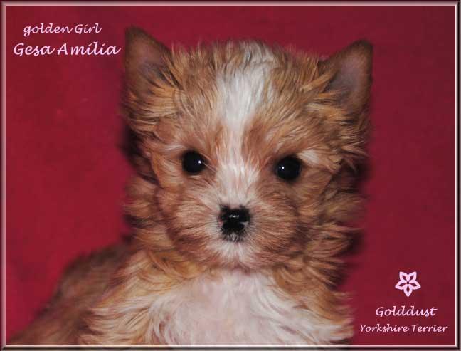 Ivimae G Golddust Yorkshire Terrier Maedchen Gesa Amilia von ver la luz 8 wochen 2   Hundezucht von Martina Dase ver-la-luz - Golddust und Biewer Yorkshire Terrier a la Pom Pon