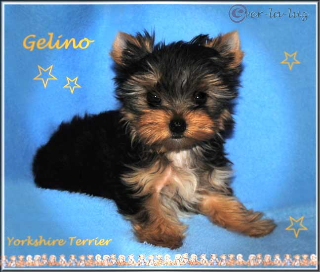 Ivimae G Yorkshire Terrier Welpe Ruede Gelino von ver la luz 10 wochen 4 | Hundezucht von Martina Dase ver-la-luz - Golddust und Biewer Yorkshire Terrier a la Pom Pon