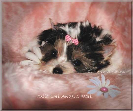 Janna Mia X Xelia Lori Angels Pearl 10 wochen 3 1   Hundezucht von Martina Dase ver-la-luz - Golddust und Biewer Yorkshire Terrier a la Pom Pon