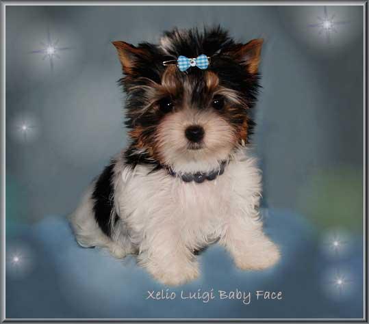 Janna Mia X Xelio Luigi 10 wochen 2 | Hundezucht von Martina Dase ver-la-luz - Golddust und Biewer Yorkshire Terrier a la Pom Pon