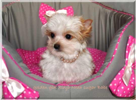 Janna Mia X golden girl Xinja Neah sugar Babe 10 wochen 8 1   Hundezucht von Martina Dase ver-la-luz - Golddust und Biewer Yorkshire Terrier a la Pom Pon
