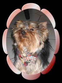 L2 | Hundezucht von Martina Dase ver-la-luz - Golddust und Biewer Yorkshire Terrier a la Pom Pon