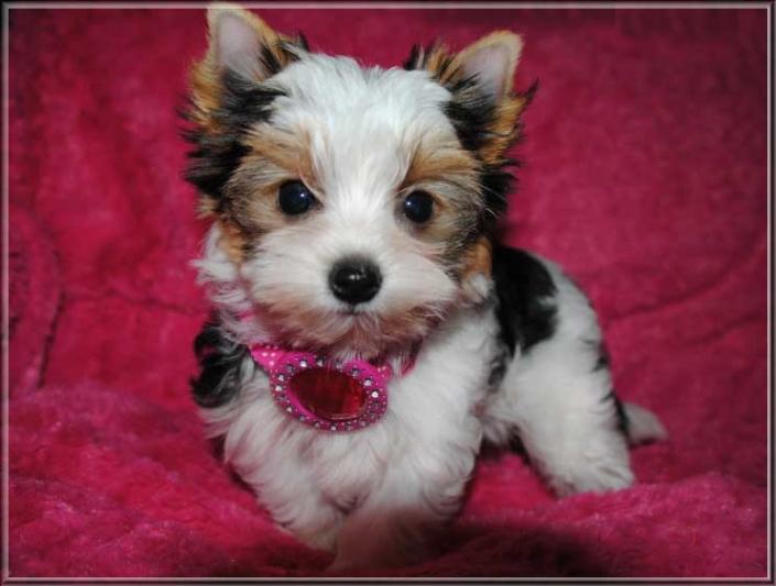 Leele I Biewer York. Mini Maedchen Ina von ver la luz 12 wochen 4 1 | Hundezucht von Martina Dase ver-la-luz - Golddust und Biewer Yorkshire Terrier a la Pom Pon
