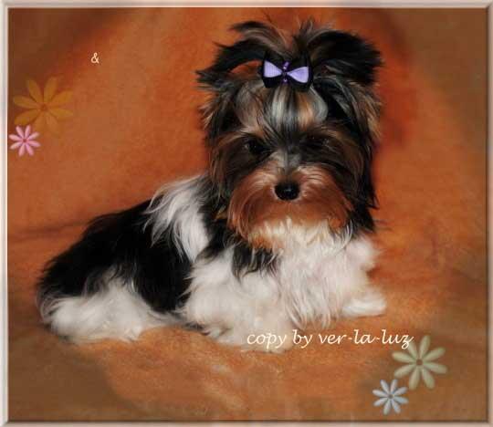 Lio Xelio 6 Monate 2 | Hundezucht von Martina Dase ver-la-luz - Golddust und Biewer Yorkshire Terrier a la Pom Pon