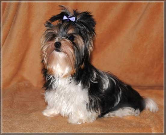 Lio Xelio von ver la luz 6 Monate 2 | Hundezucht von Martina Dase ver-la-luz - Golddust und Biewer Yorkshire Terrier a la Pom Pon